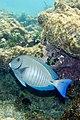 Doctorfish Acanthurus chirurgus (4657649217).jpg