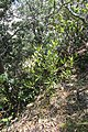 Dodonaea viscosa Jacq. (AM AK349526-2).jpg