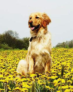 http://upload.wikimedia.org/wikipedia/commons/thumb/7/77/Dog_Hovavart.jpg/250px-Dog_Hovavart.jpg
