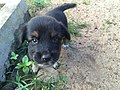 Doglet Sri Lanka Common dogs.jpg
