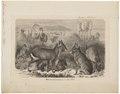 Dolichotis patagonica - 1700-1880 - Print - Iconographia Zoologica - Special Collections University of Amsterdam - UBA01 IZ20600047.tif