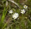 Doll's Daisy (Boltonia diffusa) (24163925367).jpg