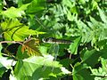Dragonfly on leave.JPG