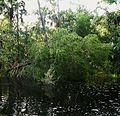 Drayton island-st. johns river.jpg