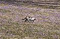 Drebacher Krokuswiesen..2H1A0319WI.jpg