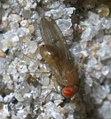 Drosophila P1540736a.jpg