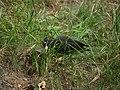 Dryocopus martius01.jpg