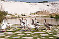 Ducks in Pamukkale.jpg