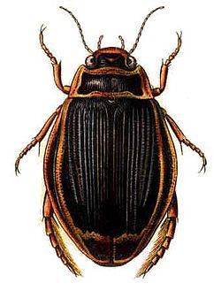Dytiscus latissimus, a predaceous diving beetle