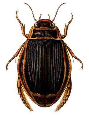 Adephaga - Dytiscus latissimus, a predaceous diving beetle