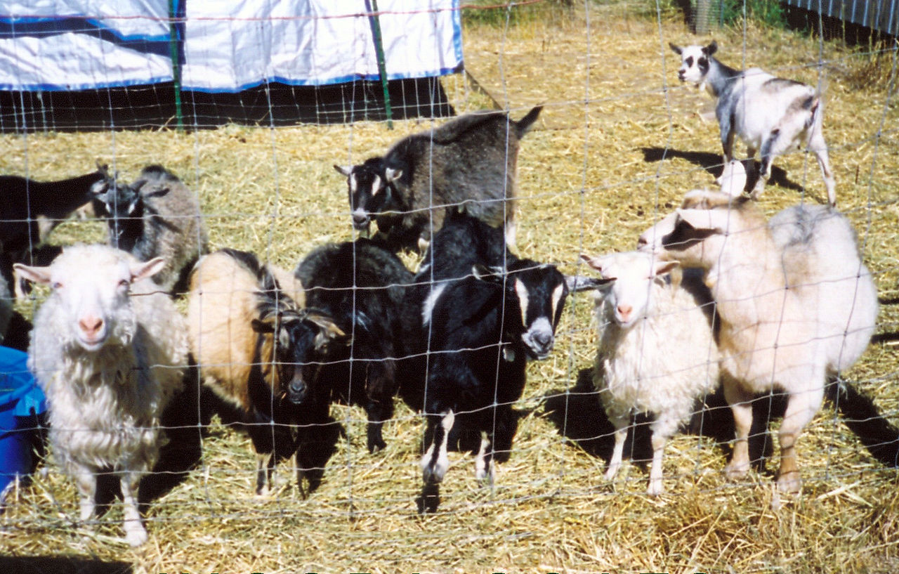 List of goat breeds - Wikiwand
