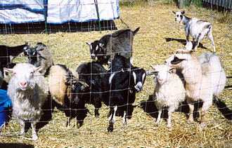 Nigora - Nigora goats photographed in 2002, showing Cocoa Puff of Skyview, the first Nigora (black doe with Swiss markings, upper center), then about 13 years old