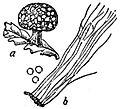 EB1911 Mycetozoa - Lepidoderma tigrinum.jpg