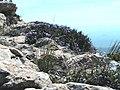 ERINACEA ANTHYLLIS - ROCA ALTA.JPG