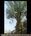 ETH-BIB-Ischia, Blühende Phoenix im Park von S. Pietro-Dia 247-16228.tif