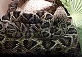 Eastern Diamond-backed Rattlesnake. Crotalus adamenteus - Flickr - gailhampshire.jpg