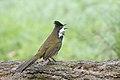 Eastern Whipbird (Psophodes olivaceus) (38450581260).jpg