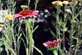 Echinacea Twilight 12zz.jpg