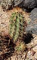 Echinocereus coccineus kz1.jpg
