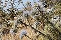 Echinops spinosissimus - Santorini - Greece - 01.jpg