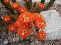 Echinopsis huascha2521710966.jpg