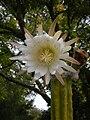 Echinopsis pachanoi San Pedro 019.JPG