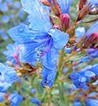 Echium gentianoides 2.jpg