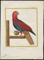 Eclectus cardinalis - 1700-1880 - Print - Iconographia Zoologica - Special Collections University of Amsterdam - UBA01 IZ18500253.tif
