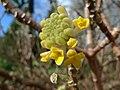 Edgworthia chrysantha (6777698490).jpg