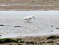 Egret on Erme, Mothecombe.jpg