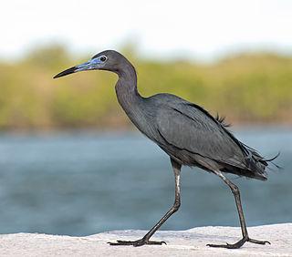 Little blue heron Species of bird