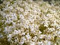 Elder flowers little.jpg
