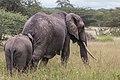 Elephant - Tarangire National Park - Tanzania-11 (34267607254).jpg