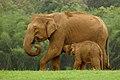 Elephant and calf DSC 2644.jpg