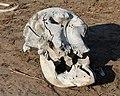 Elephant skull in Chobe National Park.jpg
