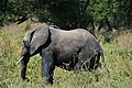 Elephants, Tarangire National Park (7) (28625044021).jpg