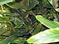 Elettaria cardamomum 1zz.jpg