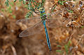 Emperor dragonfly (Anax imperator), Le Courégant, Brittany, France (19651212169).jpg