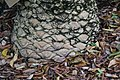 Encephalartos hildebrandtii 5zz.jpg
