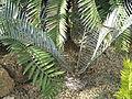 Encephalartos lebomboensis (Jardin des Plantes de Paris).jpg