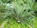 Encephalartos longifolius, Manie van der Schijff BT.jpg