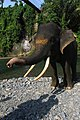 Enchantment of Elephants in Gunung Leuser National Park.jpg