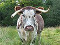 English longhorn, Windsor Great Park - geograph.org.uk - 928613.jpg