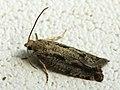 Epinotia granitana (41261466871).jpg