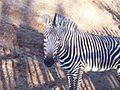 Equus zebra hartmannae (1).jpg