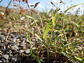 Eragrostis minor (6124341668).jpg