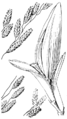 Eragrostis pectinacea var pectinacea (as E. diffusa) HC-1950-detail.png