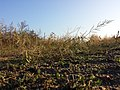 Eragrostis virescens sl11.jpg