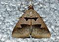 Erebid Moth (Anoba sp.) (12953430524).jpg