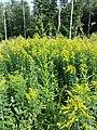 Erechtites hieraciifolia sl13.jpg